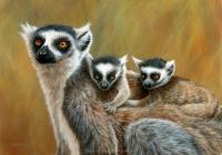 1183-ring-tailed-lemurs