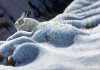 1185-mountain-hare 16x12