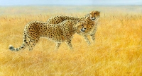 1194-cheetahs-brothers 28x15