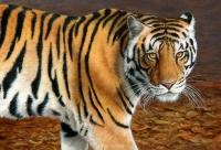 1213-tiger