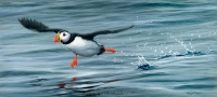 1216-keep-on-running-puffin