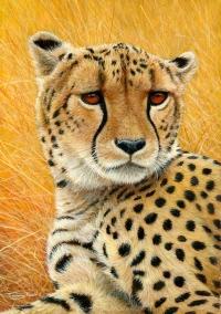 1217-Cheetah