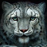1233-Shadows-snow-leopard