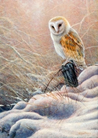 1237-Winter-glow---barn-owl