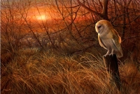 1238-Winter-sun---barn-owl