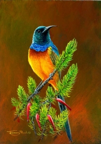 1246-orange-breasted-sunbird