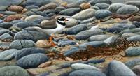 1307-In-plain-sight-ringed-plover