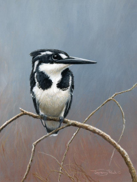 1322-Pied-kingfisher