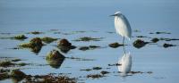 1325-Little-Egret