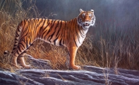 491-early-light-tiger
