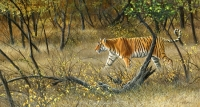 1144-Dry forest, Ranthambore - tiger
