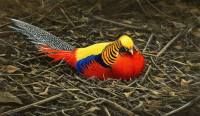 1282-All-the-colours-Golden-pheasant