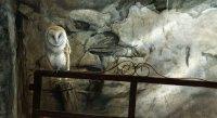 1304-Shadows-barn-owl