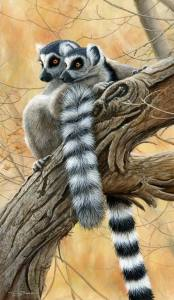 1305-Heads-and-tails-ring-tailed-lemrs-