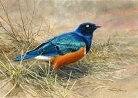 1313-Superb-Starling-Tanzania