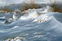 1326-Mountain-Hare-crop-scan