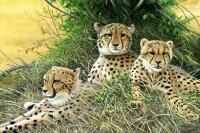 1356-Family-cheetahs-22x15