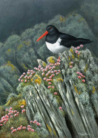 1358-Oystercatcher-at-Langness-16x12