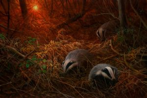 1184 sunset foraging badgers 22x15