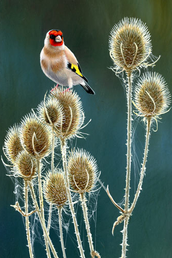 947 Teasels and goldlfinch