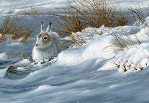 1326 Mountain Hare crop scan 22x15 1