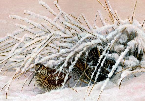 966 woodcock in winter